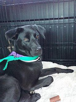 Labrador Retriever Mix Dog for adoption in Midlothian, Virginia - Odessa