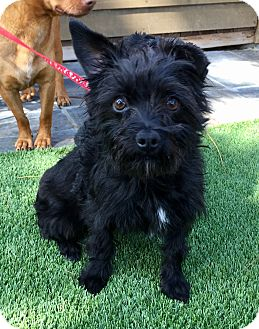 Cairn Terrier/Patterdale Terrier (Fell Terrier) Mix Dog for adoption in Santa Ana, California - Bane