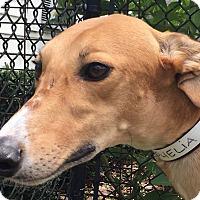 Adopt A Pet :: Killer Ophelia - Longwood, FL