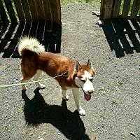 Adopt A Pet :: Harley - Boyertown, PA