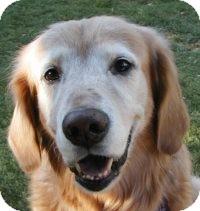 Golden Retriever Mix Dog for adoption in Scottsdale, Arizona - Sammy