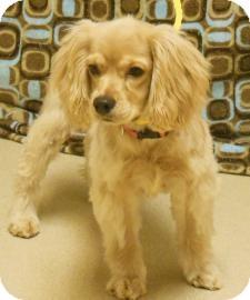 Cocker Spaniel Mix Dog for adoption in Gary, Indiana - Gracie