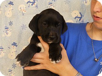 Labrador Retriever Mix Puppy for adoption in Oviedo, Florida - Mark