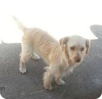 Cockapoo/Terrier (Unknown Type, Medium) Mix Puppy for adoption in Seattle, Washington - Lucy