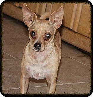 Chihuahua Mix Dog for adoption in Phoenix, Arizona - Rafael