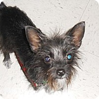 Adopt A Pet :: Pixie - Lockhart, TX