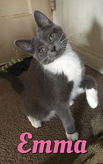 Domestic Shorthair Kitten for adoption in Cheney, Kansas - Emma