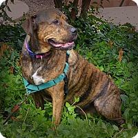 Staffordshire Bull Terrier Mix Dog for adoption in Sedona, Arizona - Hersey