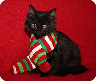 Domestic Mediumhair Cat for adoption in Marietta, Ohio - Tyra (Spayed)