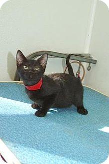 American Shorthair Kitten for adoption in Englewood, Florida - Clara