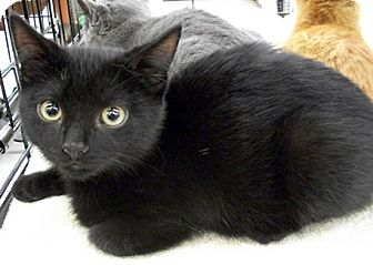 Domestic Shorthair Kitten for adoption in Castro Valley, California - Gregory