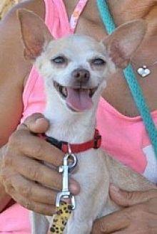 Chihuahua Mix Dog for adoption in Mesa, Arizona - Precious Marie