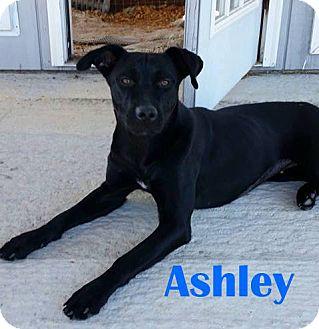 Labrador Retriever Mix Dog for adoption in Orangeburg, South Carolina - Ashley