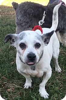 Chihuahua/Jack Russell Terrier Mix Dog for adoption in Oak Ridge, New Jersey - Skipper