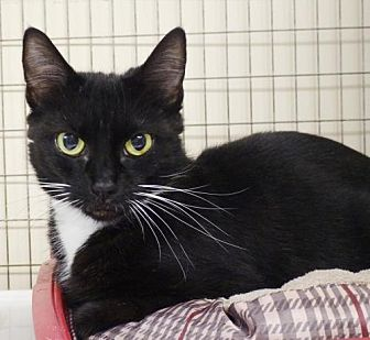 Domestic Shorthair Cat for adoption in St. Johnsbury, Vermont - Rio