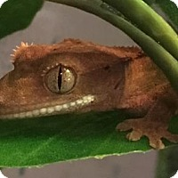 Adopt A Pet :: Dakota - Vancouver, WA
