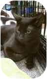 Domestic Shorthair Kitten for adoption in Manalapan, New Jersey - Salem