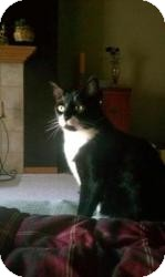 Domestic Shorthair Cat for adoption in Milwaukee, Wisconsin - Patton