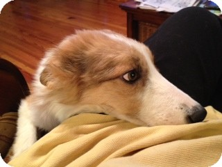 Sheltie, Shetland Sheepdog/Border Collie Mix Dog for adoption in Homewood, Alabama - Chance