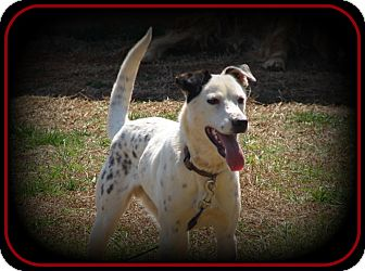 Pointer/Jack Russell Terrier Mix Dog for adoption in Indian Trail, North Carolina - Skittles