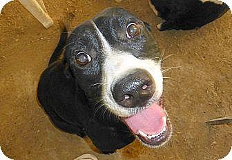 Labrador Retriever/Terrier (Unknown Type, Medium) Mix Dog for adoption in Katy, Texas - Biscuit - 2