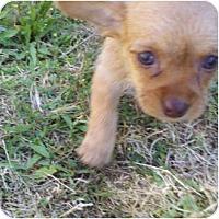 Adopt A Pet :: Chrissy - Bakersfield, CA