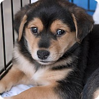Adopt A Pet :: PETER PAN - Fort Worth, TX