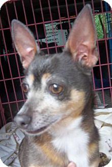 Chihuahua Dog for adoption in Anderson, South Carolina - BELLA