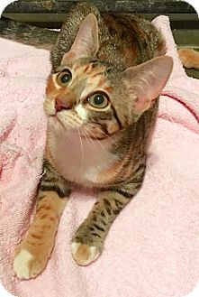 Calico Kitten for adoption in Metairie, Louisiana - Amber - Precious Tabby Calico
