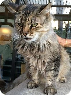 Maine Coon Cat for adoption in Los Angeles, California - Emily