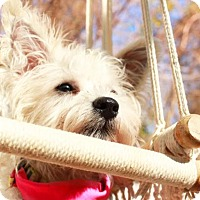 Westie, West Highland White Terrier/Maltese Mix Puppy for adoption in Houston, Texas - Holly