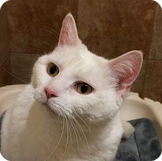 Domestic Shorthair Cat for adoption in Fairfax, Virginia - Scarlett