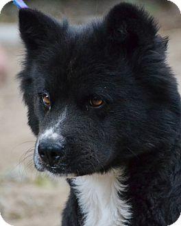 Chow Chow Mix Dog for adoption in Bellevue, Nebraska - Sampson