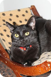 Domestic Shorthair Cat for adoption in North Branford, Connecticut - Lily