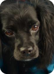Spaniel (Unknown Type) Mix Dog for adoption in Minneapolis, Minnesota - Sara