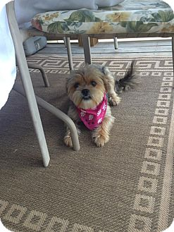 Yorkie, Yorkshire Terrier/Lhasa Apso Mix Dog for adoption in Hazard, Kentucky - Layla