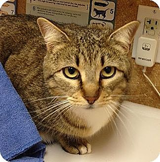 Domestic Shorthair Cat for adoption in Elgin, Texas - Tara