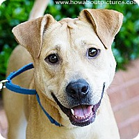 Labrador Retriever/Shar Pei Mix Dog for adoption in Atlanta, Georgia - Joss