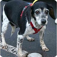 Adopt A Pet :: Wilamena - Portland, OR