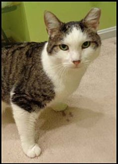 Domestic Shorthair Cat for adoption in Merrifield, Virginia - Chagall