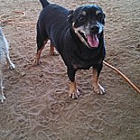 Miniature Pinscher Dog for adoption in Graceville, Florida - Yogi   #1