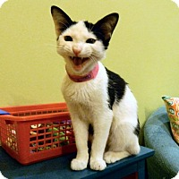 Adopt A Pet :: Cookie - The Colony, TX