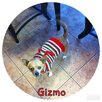 Terrier (Unknown Type, Small) Mix Dog for adoption in Rowlett, Texas - Gizmo