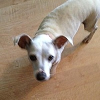 Adopt A Pet :: ZZ-Lola *courtesy post - Rancho Santa Margarita, CA