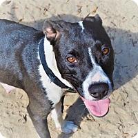 Adopt A Pet :: Bacardi - Tampa, FL