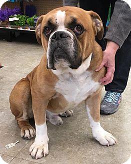 English Bulldog Dog for adoption in Ringoes, New Jersey - Boss
