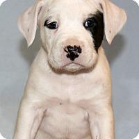 Adopt A Pet :: Scotch - Waldorf, MD