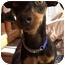 Photo 1 - Miniature Pinscher Dog for adoption in Phoenix, Arizona - Fallon