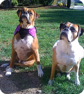 Boxer Dog for adoption in Richmond, Virginia - Brittany and Hooch