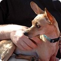 Adopt A Pet :: Doodles - Mesa, AZ